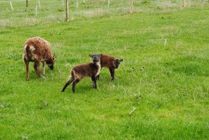 Lambs checking out what's going on